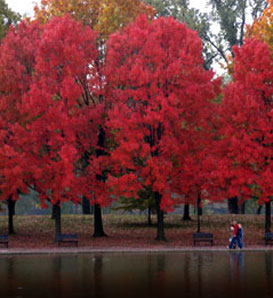 Red maple trees in Fall colors